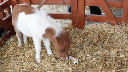 pónei : cute pony horse baby Stock Footage