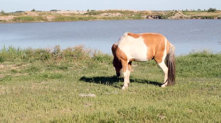 pónei : pony horse on pasture Stock Footage
