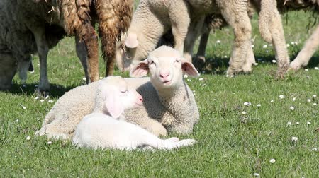 cordeiro : two lambs on pasture