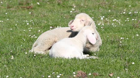 cordeiro : two white lambs spring season