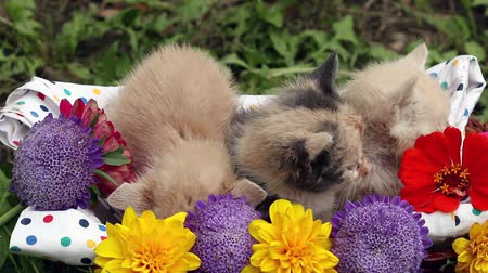 kotě : kittens in basket with flowers