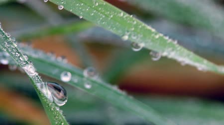 gota de orvalho : dew drops on grass macro