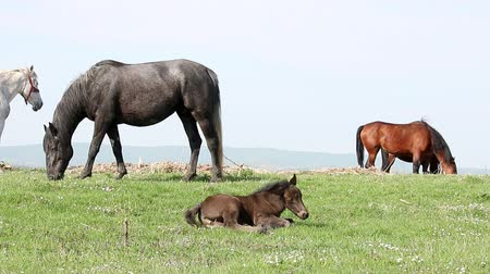 ouvido : foal and horses on pasture