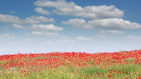 haşhaş : poppy flowers field and blue sky landscape Stok Video
