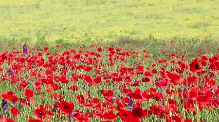 haşhaş : poppies flower field nature background