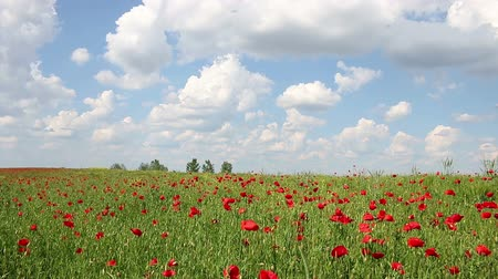haşhaş : poppies flowers and blue sky with clouds landscape Stok Video