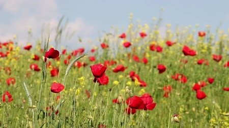 haşhaş : poppies flowers on windy field spring season Stok Video
