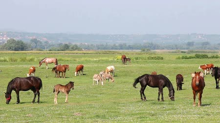 hoof : farm animals on pasture spring season Stock Footage