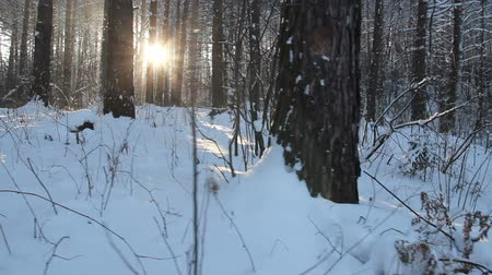 Sunlight in winter forest. Sun shines through tree branches covered with snow. Winter wonderland. Sun flare in winter tree. Sun rays in winter forest. Walking in the woods. Steadicam shot 影像素材