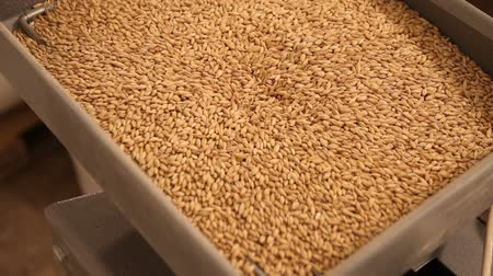 cervejaria : Grinding of malt for producing beer at the brewery. The crushing of the malt in an electric mill. Close up Stock Footage