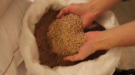mashing : Grinding of malt for producing beer at the brewery. Male hands take the malt out of the bag and flow through his fingers. Stock Footage