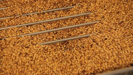 mashing : Grinding of malt for producing beer at the brewery. The crushing of the malt in an electric mill. Close up Stock Footage