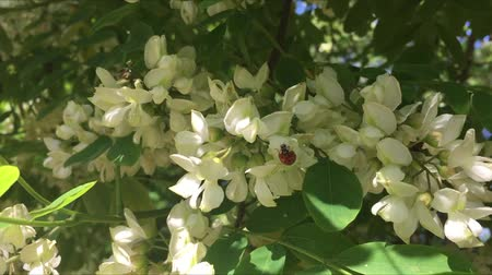 görsel : White acacia flower and a ladybug