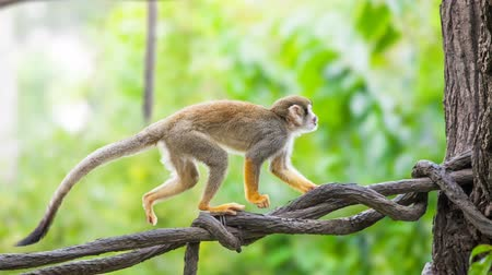 tamarin : Squirrel monkey in natural habitat, rain forest and jungle, playing and moving around. Slow motion 4K footage
