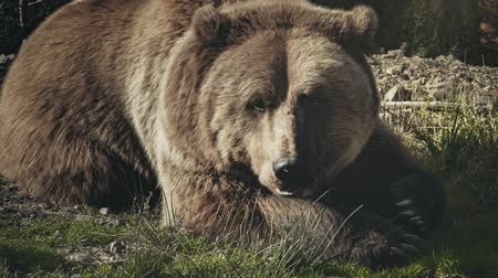 miś : Huge brown bear (Ursus arctos) lying on the grass in the forest. Close up portrait of wild big brown bear sleeping and relaxing. Wildlife nature conservation. Dark vintage retro toning filter. Full HD
