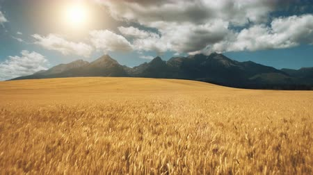 назад : Aerial View Drone Fly over yellow wheat field with impressive mountains in idyllic nature golden light sunset. Dramatic landscape. Tatras Mountains, Slovakia. 4K. Camera fly back making visual effect