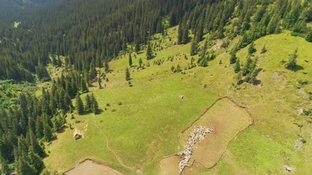 steady cam : Aerial Drone Flight above beautiful mountain landscape. Green pastures with pine tree forest. Sheep grazing on field, farmland. Carpathian mountains, Ukraine, Europe. Camera zoom and rotate. 4K motion Stock Footage