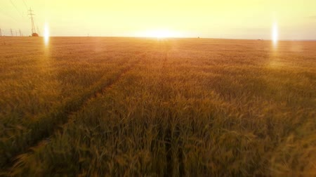 kasza jaglana : AERIAL long warm evening sunset fly over rye oats millet agriculture harvest field.