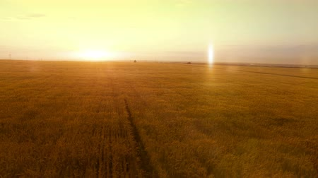 escopo : AERIAL long warm evening sunset panorama over wheat rye oats millet agriculture harvest field.