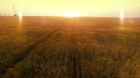 kasza jaglana : AERIAL long warm evening sunset fly over wheat rye oats millet agriculture harvest field. Wideo