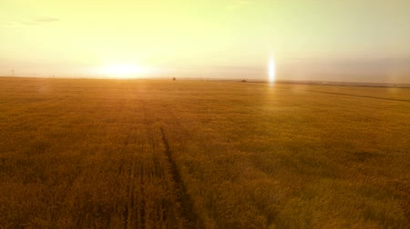 kasza jaglana : AERIAL long warm evening sunset panorama over wheat rye oats millet agriculture harvest field.