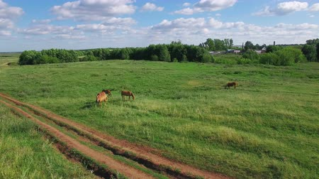 Several young beautiful horses graze in the evening on a meadow at sunset, aerial view fly around and up