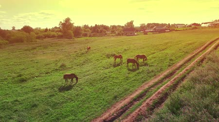 Several young beautiful horses graze in the evening on a meadow at yellow red sunset, aerial view fly around