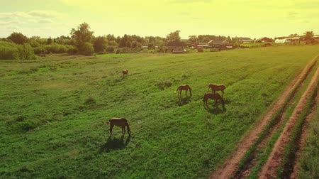 kobyla : Several young beautiful horses graze in the evening on a meadow at yellow red sunset, aerial view fly around and up Dostupné videozáznamy