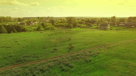 Several young beautiful horses graze in the evening on a meadow at yellow red sunset, aerial view fly around and away Dostupné videozáznamy