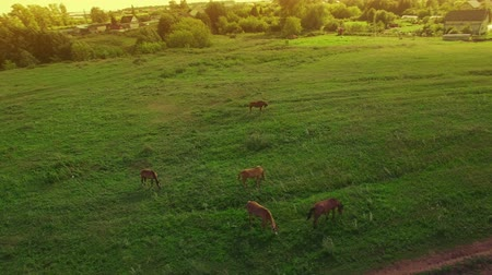 Several young beautiful horses graze in the evening on a meadow at yellow red sunset, aerial view fly around and up Dostupné videozáznamy