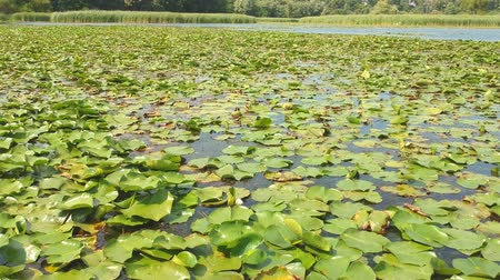 liliom : Lotus leaves and flowers in the lake, aerial top view, green water lilies and lotuses in the tropical waters, bird eye view footage.