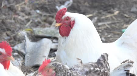 galo novo : White rooster with a red comb on a farm