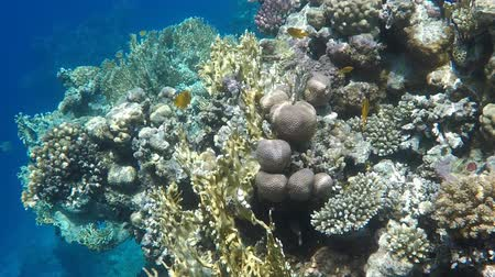 şnorkel : Undersea world. Corals of the Red Sea in Egypt Stok Video