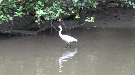 brodění : White asian heron in search of food
