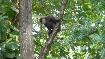 primaz : A monkey descends from a tree in the jungles of Sri Lanka