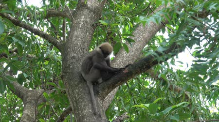 primaz : Monkey on the tree in Sri Lanka Vídeos
