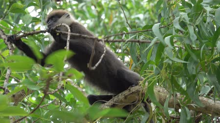 primaz : Monkey eats dry fruit on the tree in jungles of Sri Lanka