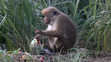 шри : Monkey eats a watermelon in a dump. Sri lanka Стоковые видеозаписи