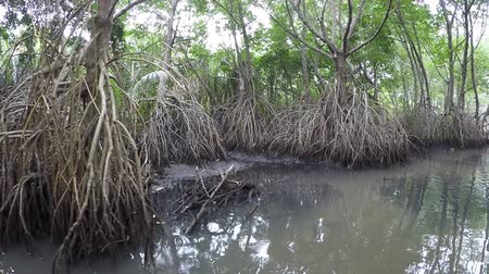 mangrove trees : Mangrove forest in Sri Lanka. POV from a boat