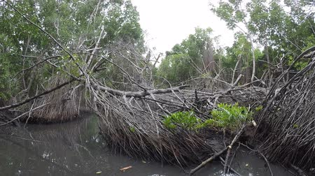 шри : Mangrove forest in Sri Lanka. POV from a boat