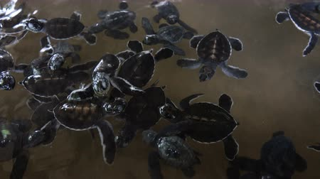 conservação do meio ambiente : A group of small baby turtles swimming in an incubation pool. Sea Turtle Rescue Center. Turtle farm in Sri Lanka
