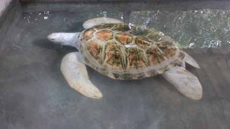 preservation : White albino turtle swims in the pool. Sea Turtle Rescue Center. Turtle farm in Sri Lanka Stock Footage