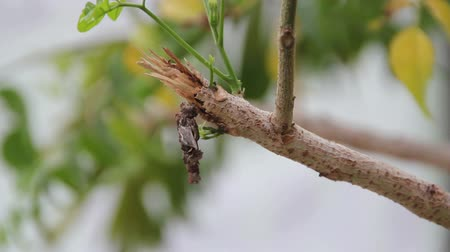 cycle : pupa is climbing on Branch