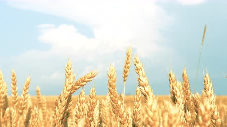 fruitful : Rural landscape. Yellow field of rye or wheat and clear blue sky. Sliding shot
