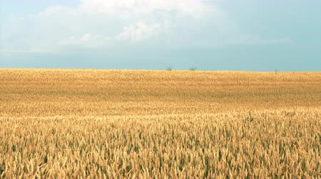 fértil : Crop harvesting. Sliding shot of yellow field of rye or wheat moving in the wind.