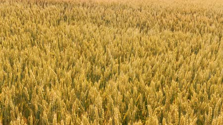 sklízet : Crop harvesting. Yellow field of rye or wheat moving in the wind. Grain production Dostupné videozáznamy