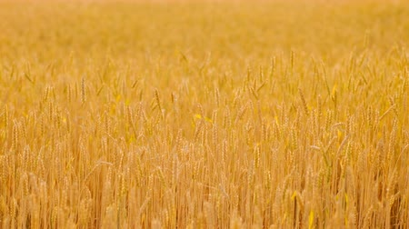 fruitful : Crop harvesting. Golden rye or wheat in a field slightly moving