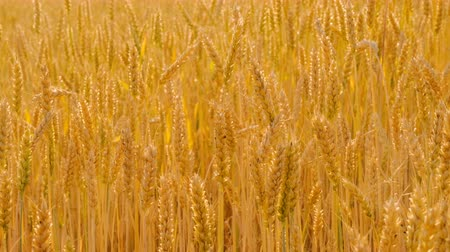 fruitful : Agriculture and food production. Yellow field of rye or wheat spikelets