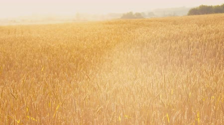 sklízet : Farming industry. Golden rye or wheat in a field. Sliding shot on landscape