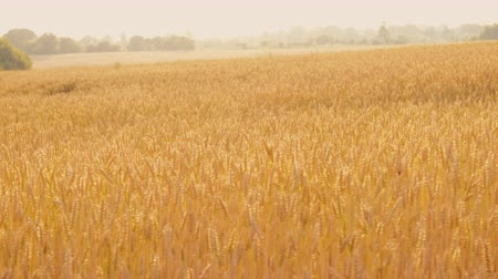 fruitful : Crop harvesting. Sliding shot of yellow field of rye or wheat moving in the wind.